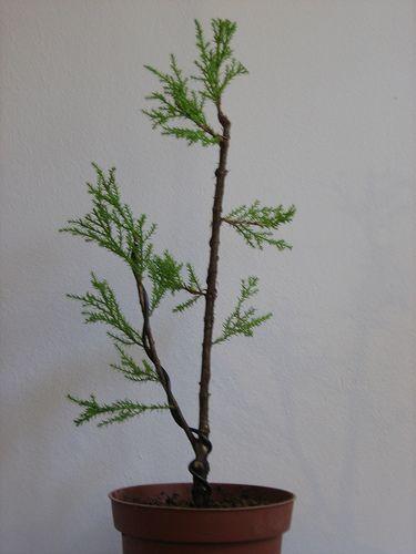 Cupressus Macrocarpa Goldcrest Bonsai Plants Incense