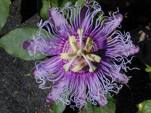Lady Margaret Passion Vine Will Grow Just About Anywhere Passion Flower Purple Passion Flower Passion Vine