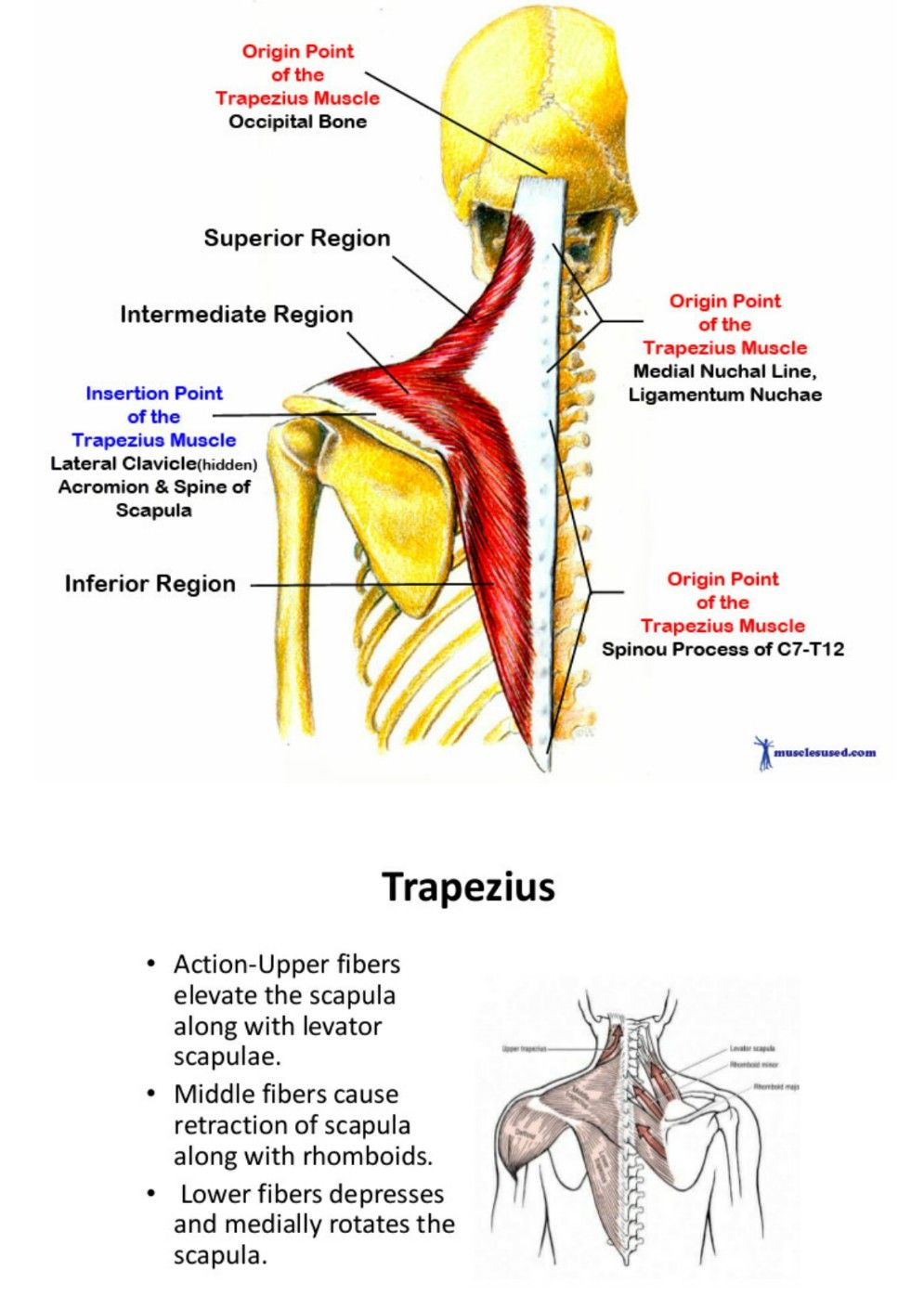 Trapezius Muscles Pinterest Muscle And Anatomy