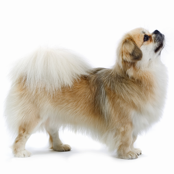 The Tibetan Spaniel Originates From The Himalayas Where It Was Bred By Lamaist Monks For Centuries The Breed Served Tibetan Spaniel Spaniel Puppies Dog Breeds