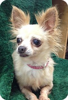 Allentown Nj Chihuahua Meet Autumn A Dog For Adoption Http