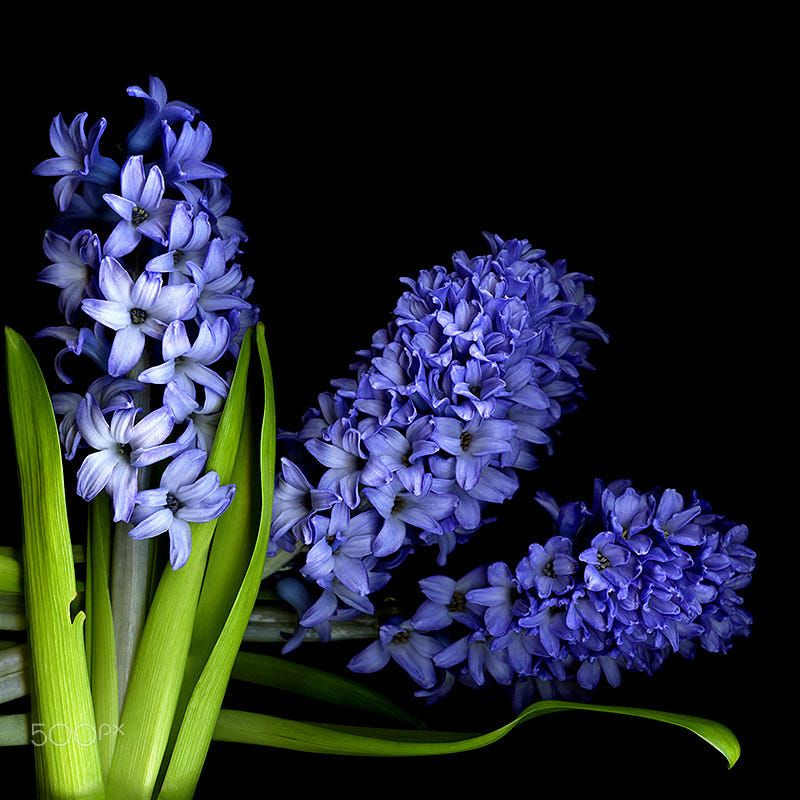 Abfav 3 The Name Hyacinth Comes From The Greek Hyakinthos A Handsome Young Man Who In Greek Mythology Was Vertical Wall Art Framed Wall Art Floral Wall Art