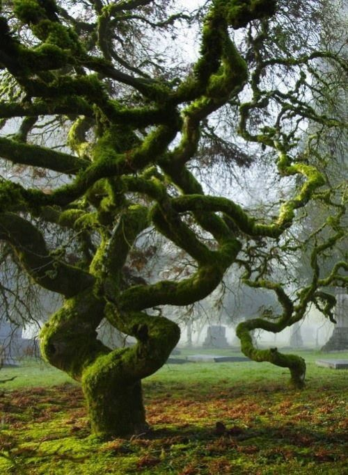 Twisting Trees   At River View Cemetery in Portland, Oregon