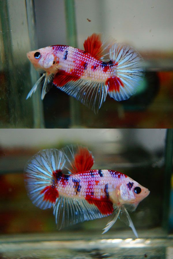 Fwbettashmp1410127821 new fancy koi dragon for Betta fish sale