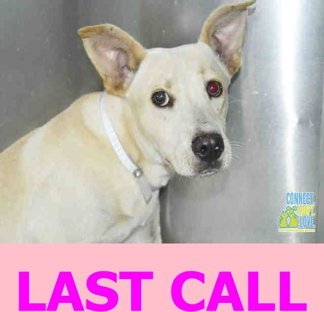 SNOW (A1719574) I am a female white Labrador Retriever mix. The shelter staff think I am about 6 months old and I weigh 24 pounds. I was found as a stray and I may be available for adoption on 08/24/2015. Miami Dade https://www.facebook.com/urgentdogsofmiami/photos/pb.191859757515102.-2207520000.1440534477./1031799953521074/?type=3&theater