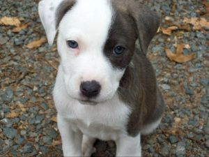 I want to adopt this American Staffordshire Terrier (pitbull)