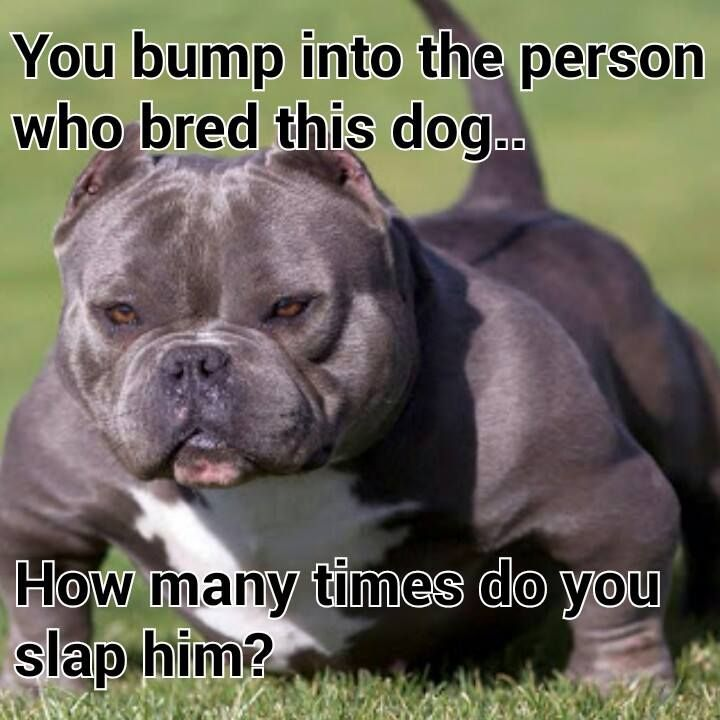 Old Tyme Hinks Bull Terrier American Bully Dogs Dog Memes