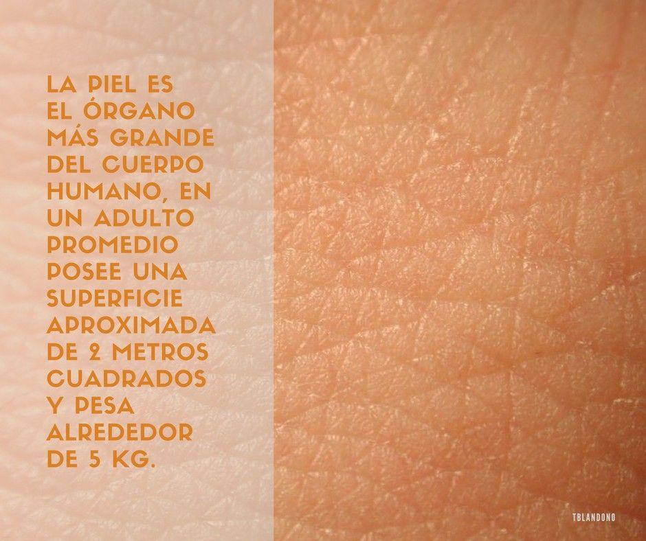 Salud El órgano más grande del cuerpo humano es la piel ...