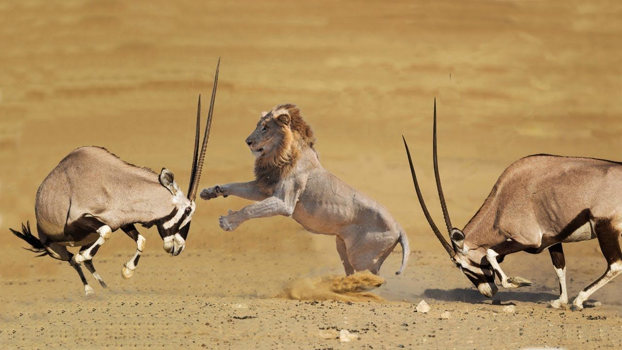 Amazing Oryx Defeated Two Lion Lion Hunting Fail Lion