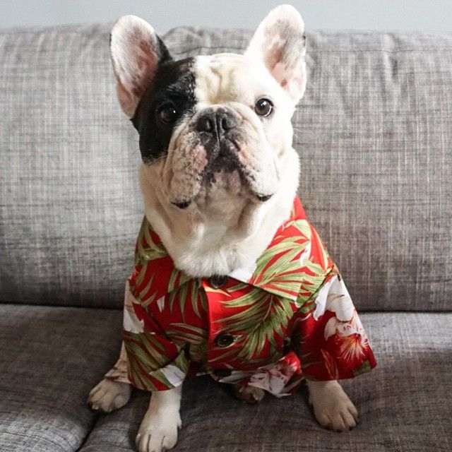 Hi I M Manny And I Love My New French Bulldog Size Hawaiian