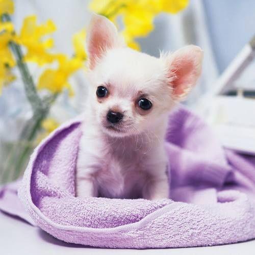 Little Darling Cute Chihuahua Chihuahua Puppies