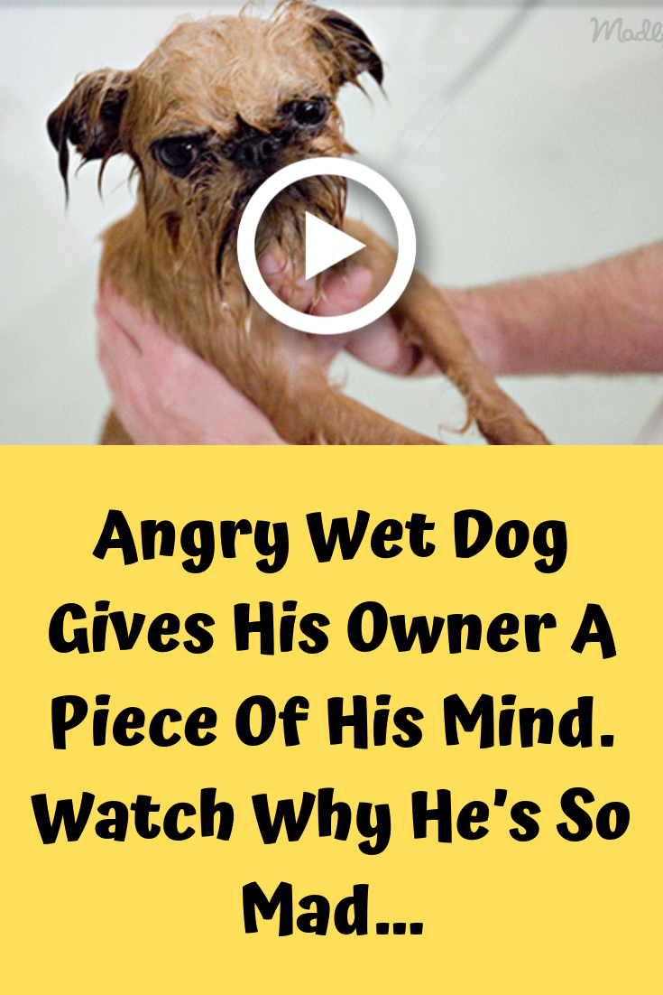 Angry Wet Dog Gives His Owner A Piece Of His Mind Watch Why He S