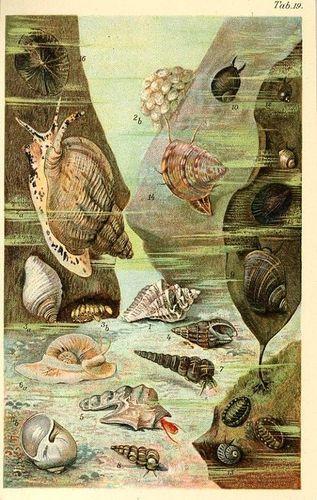 1890 Marine Life Sea Shell Snail Mollusca Antique Chromolithograph Print Kuckuck