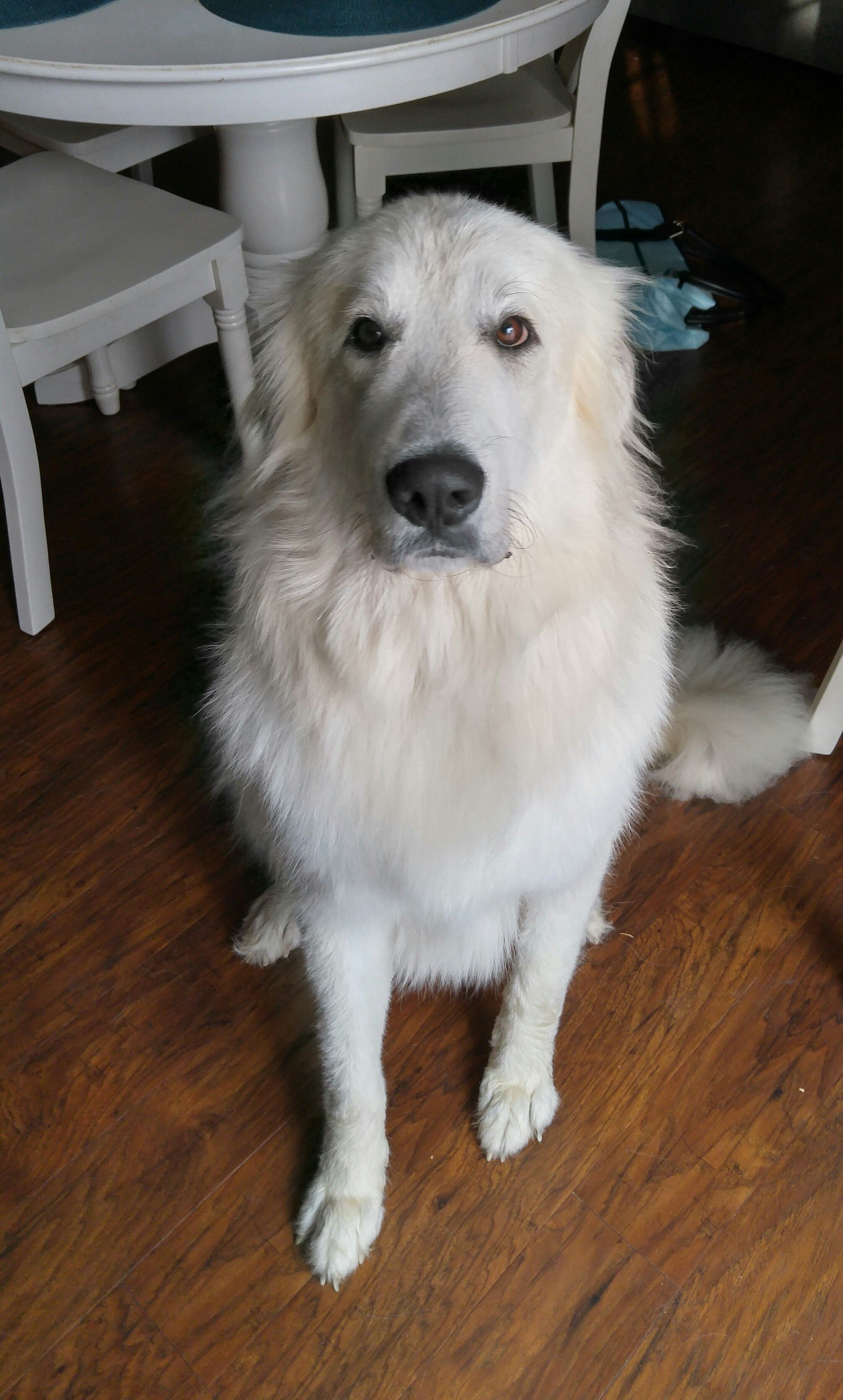 My One Year Old Great Pyrenees After A Blow Dry Http Ift Tt