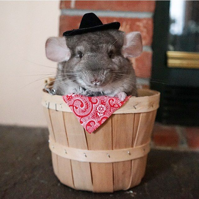 "Cosette Agnes ( cosettethechinchilla) on Instagram  ""Howdy PAWtner!  howdy   yeehaw  cowboy  cowboyhat  countrygirl  bandana  wildwildwest…"" d0fb4b2a76e"