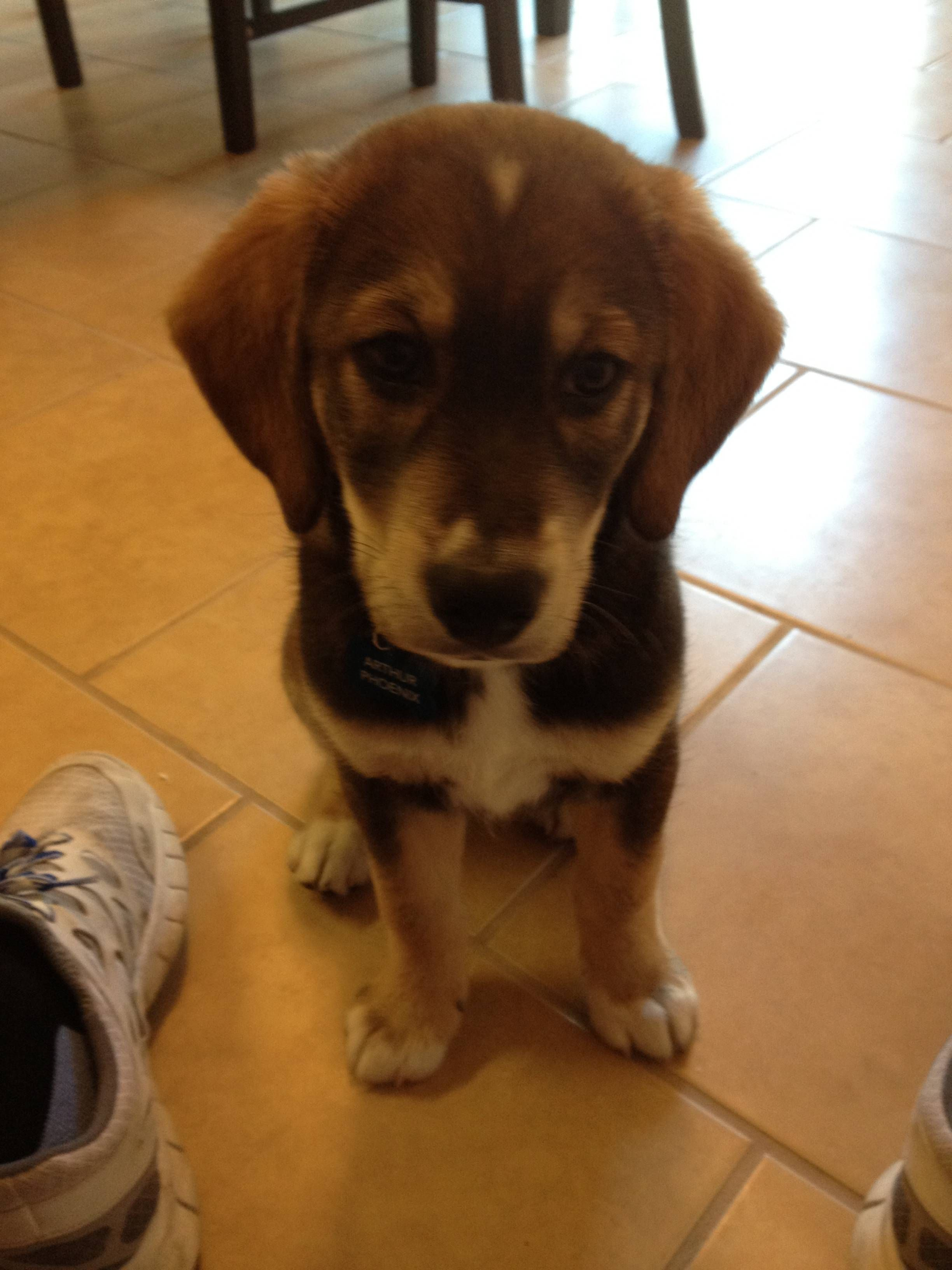 8 Week Old Husky Lab Bloodhound Mix Crazy Dog Lady Dogs Crazy Dog