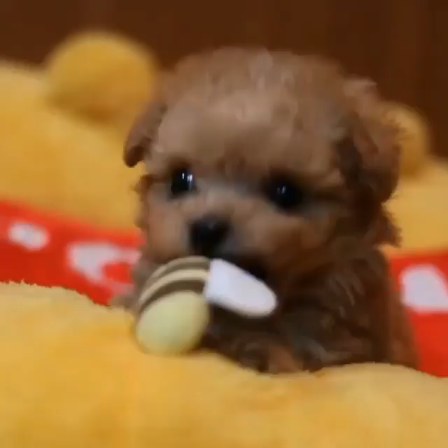 Cutest Toy Poodle Puppy