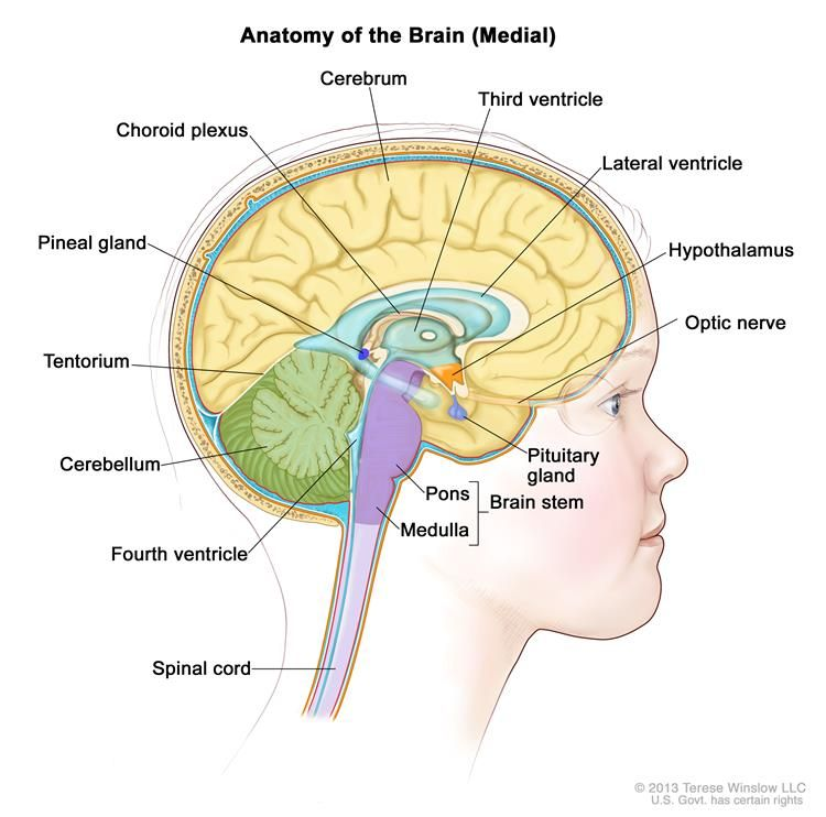 Drawing of the inside of the brain showing the lateral ventricle ...