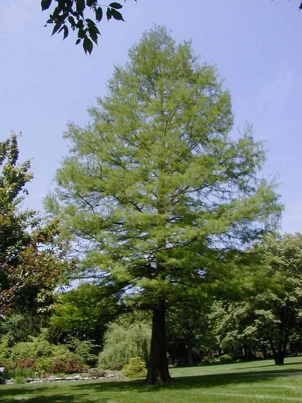 bald cypress   <Below House Edge of Water>   Clear Cut Place