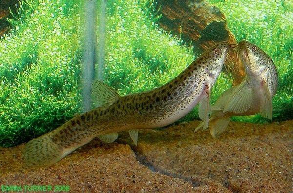 Weather Loach Misgurnus Anguillicaudatus Loaches Online Coldwater Fish Goldfish Species Freshwater Fish