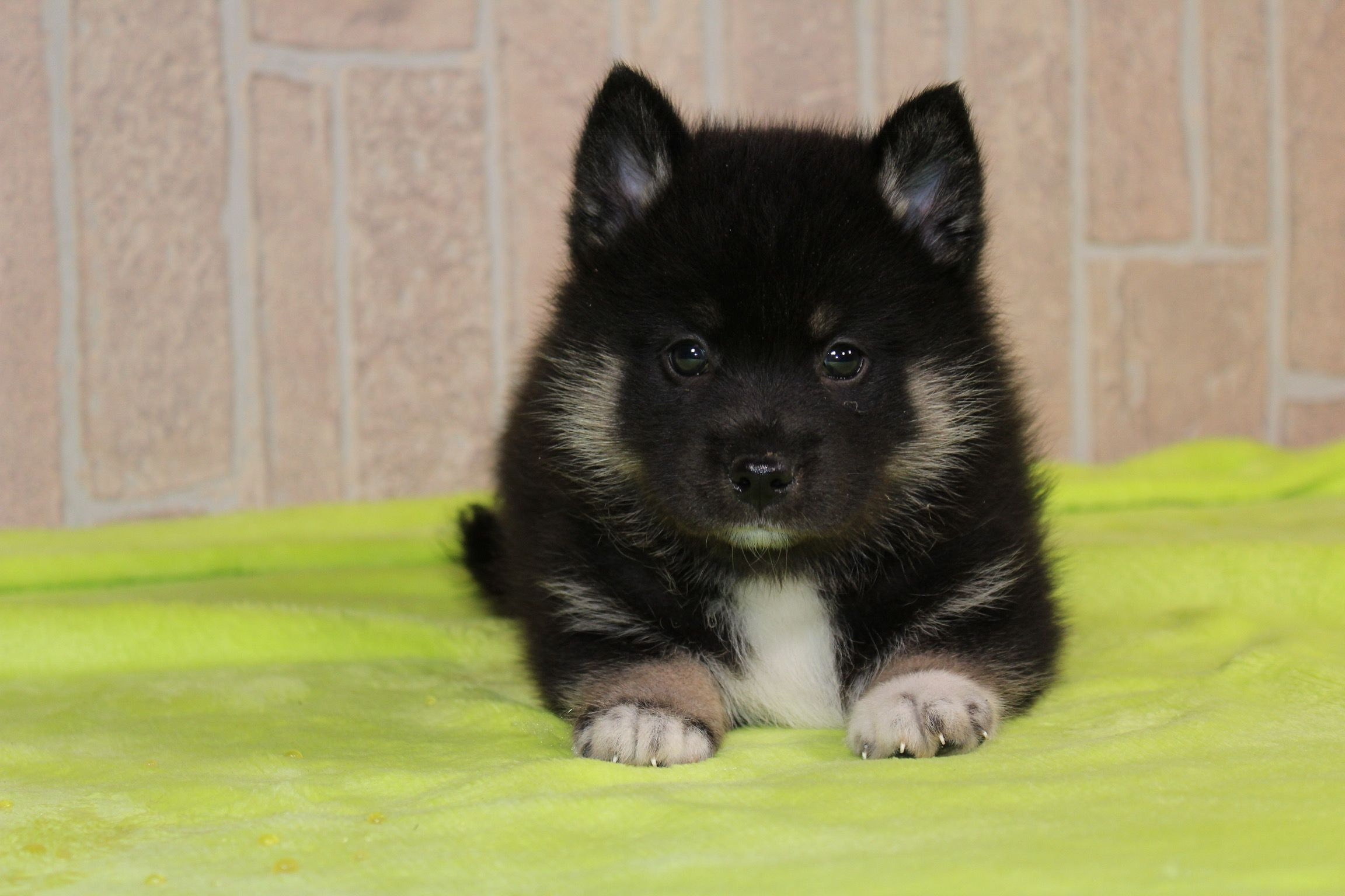 Gio A Spunky Male Ckc Pomsky Pupper In Indiana For Sale With Health Guarantee Find Cute Pomsky Puppies And Responsib Pomsky Puppies Puppies Puppies For Sale