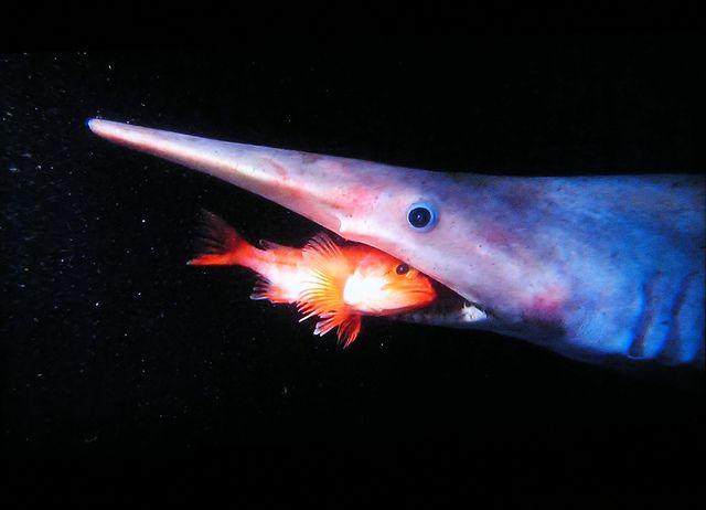 Картинки по запросу Акула-домовой