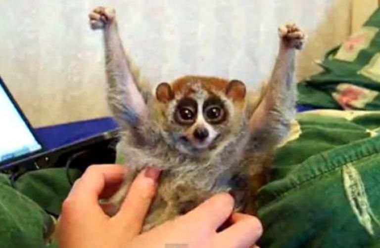 These 22 People Have The Coolest Pets Ever Slow Loris Cute Animal Videos Cute Animals