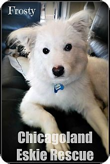 Elmhurst, IL - Spitz (Unknown Type, Medium) Mix. Meet Frosty, a puppy for adoption. http://www.adoptapet.com/pet/17038824-elmhurst-illinois-spitz-unknown-type-medium-mix