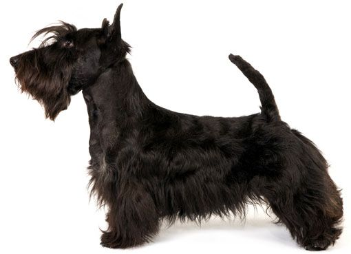 Scottish Terrier The Scottish Terrier Is A Lot Of Personality In