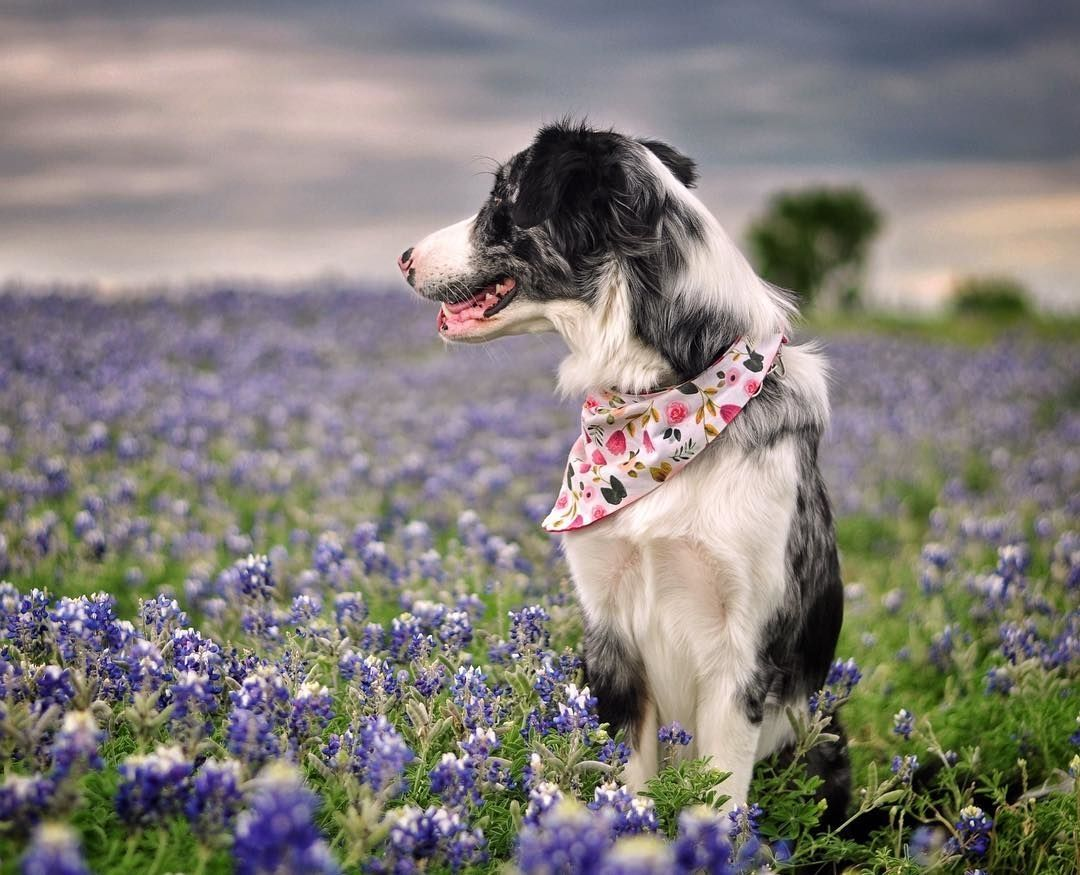 Find Me In A Field Of Wildflowers Gunnerandarrow Dogbestpix To Be Featured Dogfeatures Ilovemydog Border Collie Best Dogs Dogs