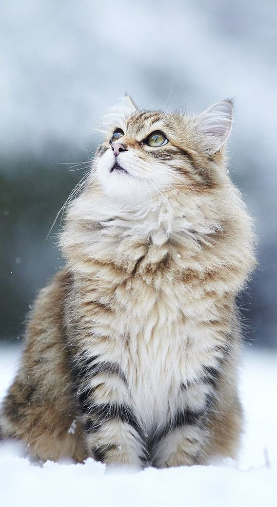 The Most Majestic Cat Photograph You Ll Ever Gaze Upon Norwegian Forest Cat Cute Cats Cats