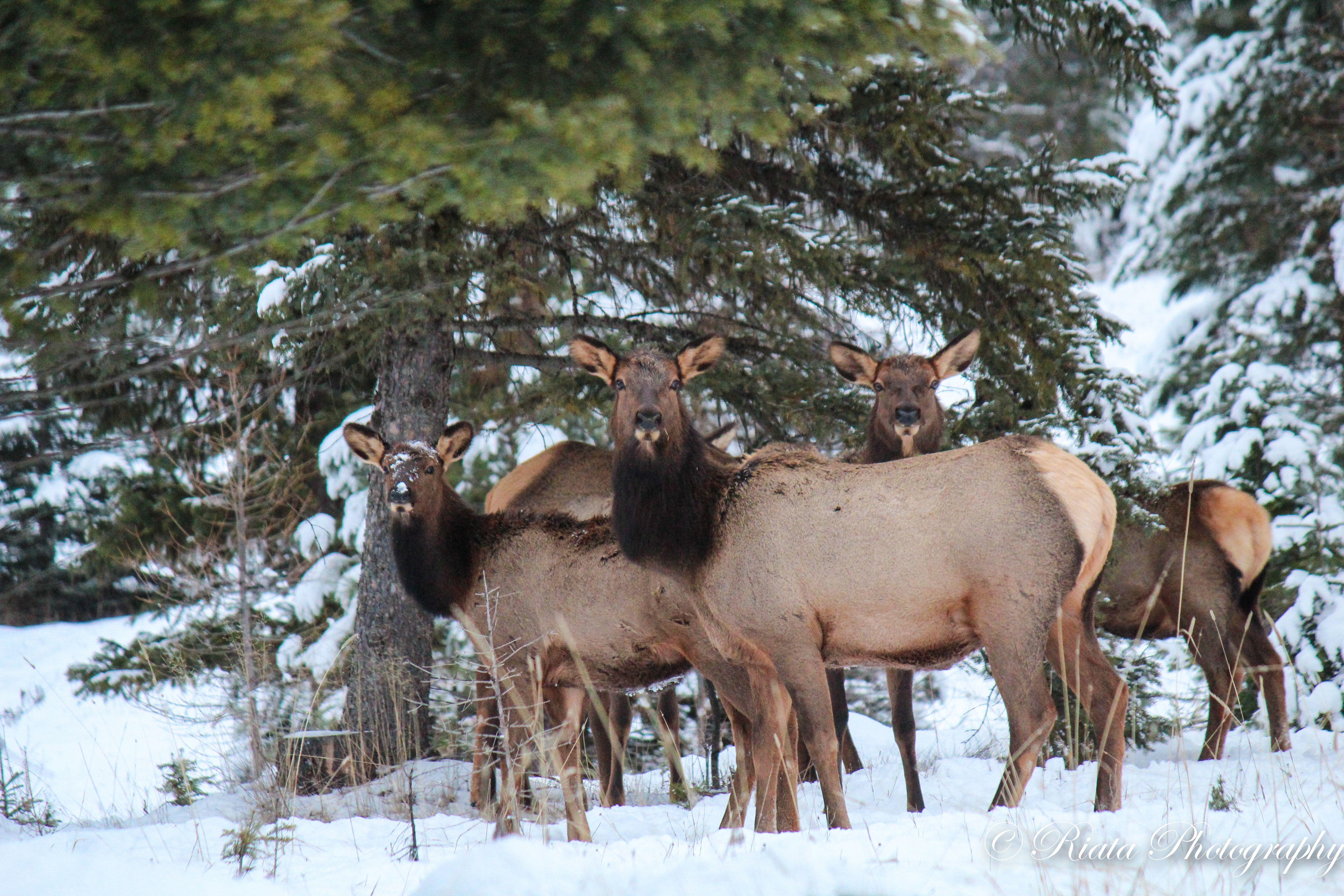 Elk in beautiful Montana