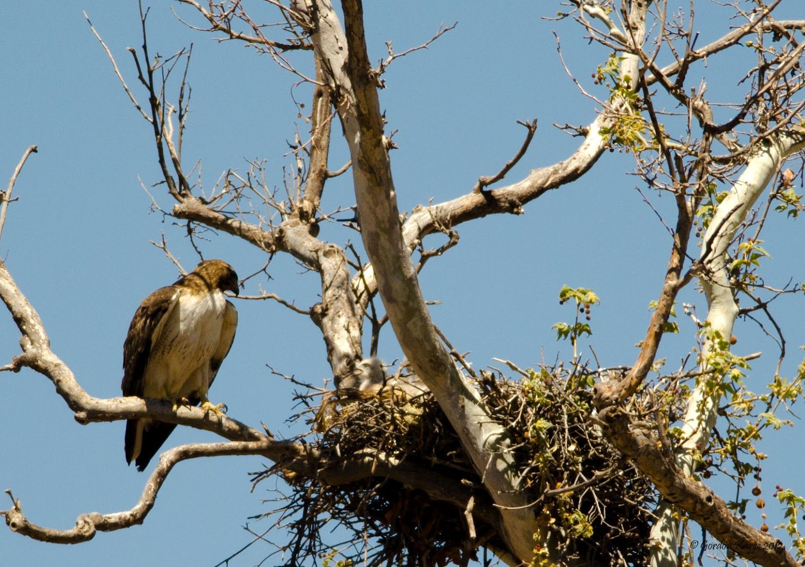 Redtailed Hawk Information Facts and Pictures