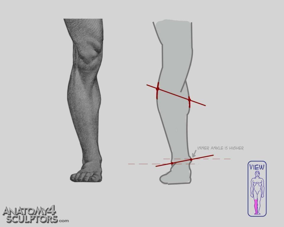 Anatomy 4 Sculptors | Anatomy, Anatomy reference and Leg anatomy
