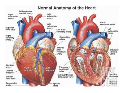 Normal Anatomy of the Human Heart | Heart matters | Pinterest ...