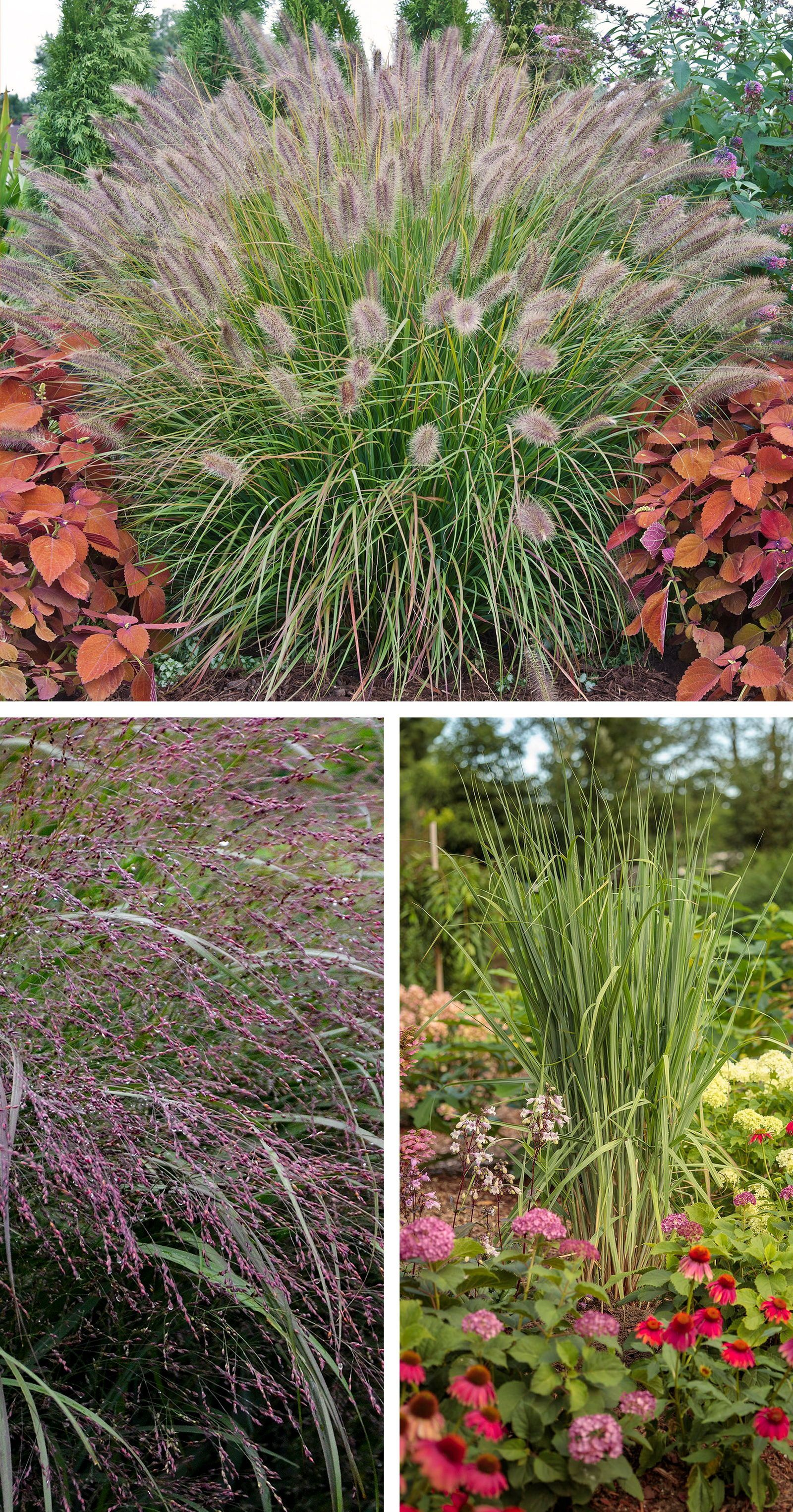 Ornamental Grasses Of The Prairie Winds Collection Add Graceful Texture And Movement To Your In 2020 Ornamental Grass Landscape Ornamental Grasses Grasses Landscaping