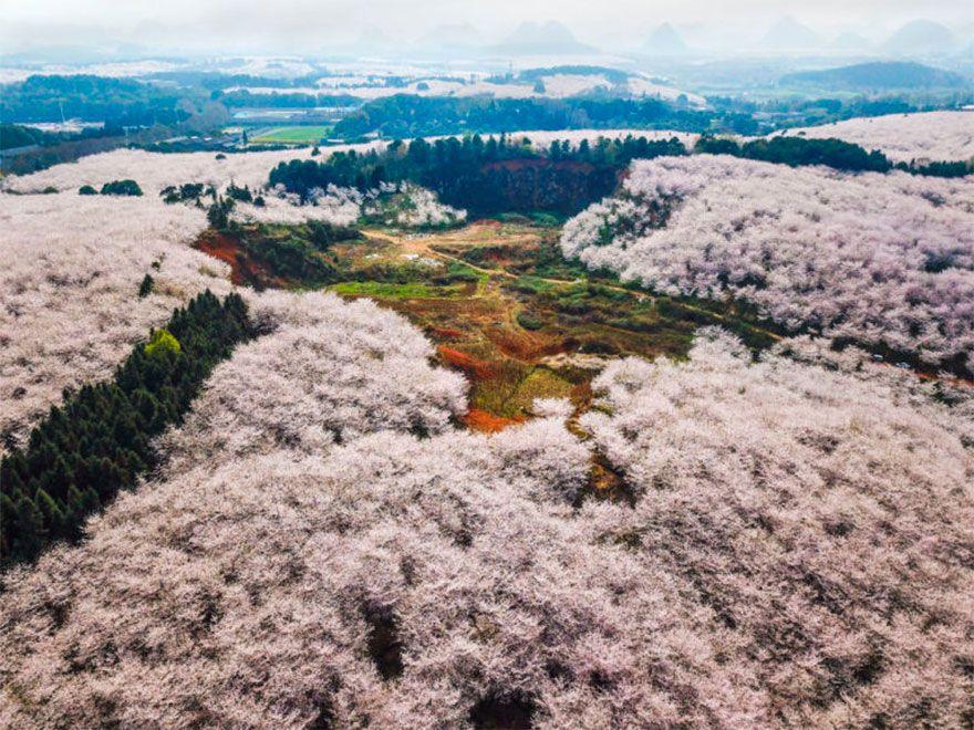 Cherry Blossom China Spring Cherry Blossom Spring Blossom