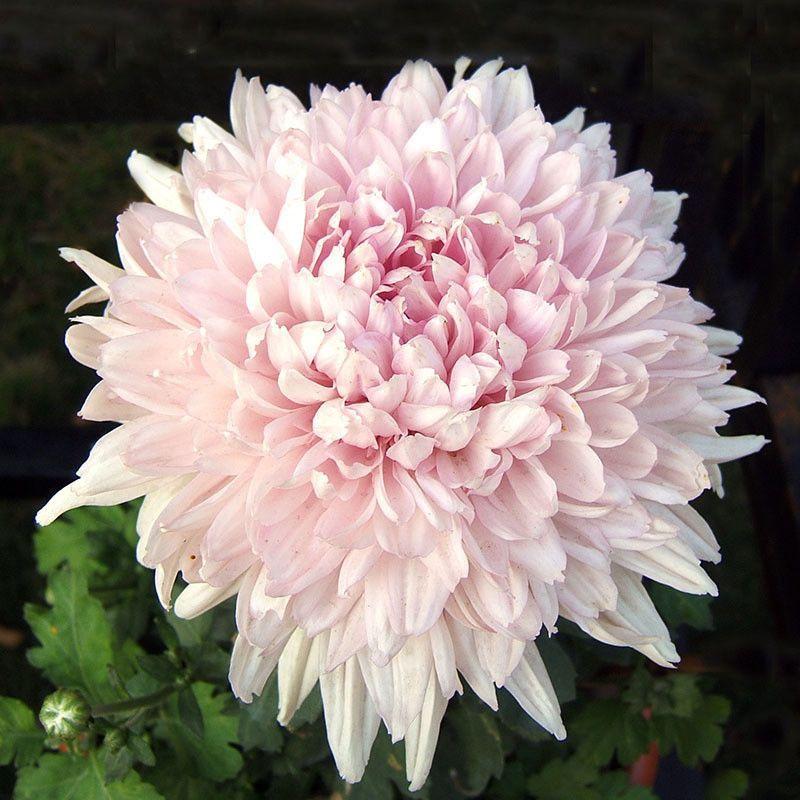 100 Pcs Bag Beautiful Light Pink Chrysanthemum Seeds Chrysanthemum Morifolium Seeds Chrysanthemum Seeds Flower Seeds Flower Pots