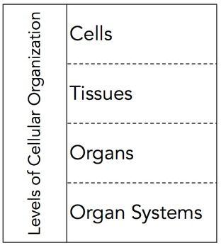 Levels Of Cellular Organization Graphic Organizer Graphic