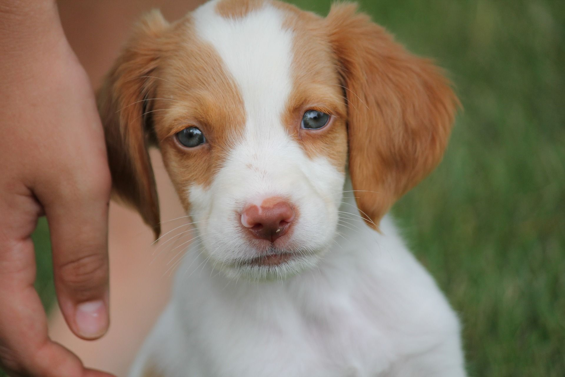 Links to awesome Brittany Spaniel merchandise on Zazzle