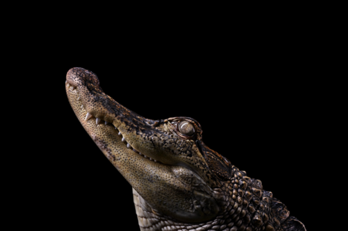 Incredible Studio Portraits Of Wild Animals By Brad Wilson: Pin By Yasmin Cattle On Animal Photography