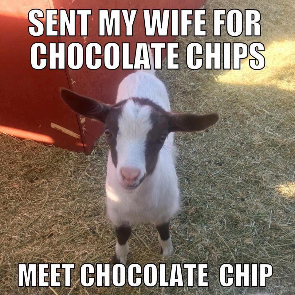 Oops Goats Cute Goats Goats Funny