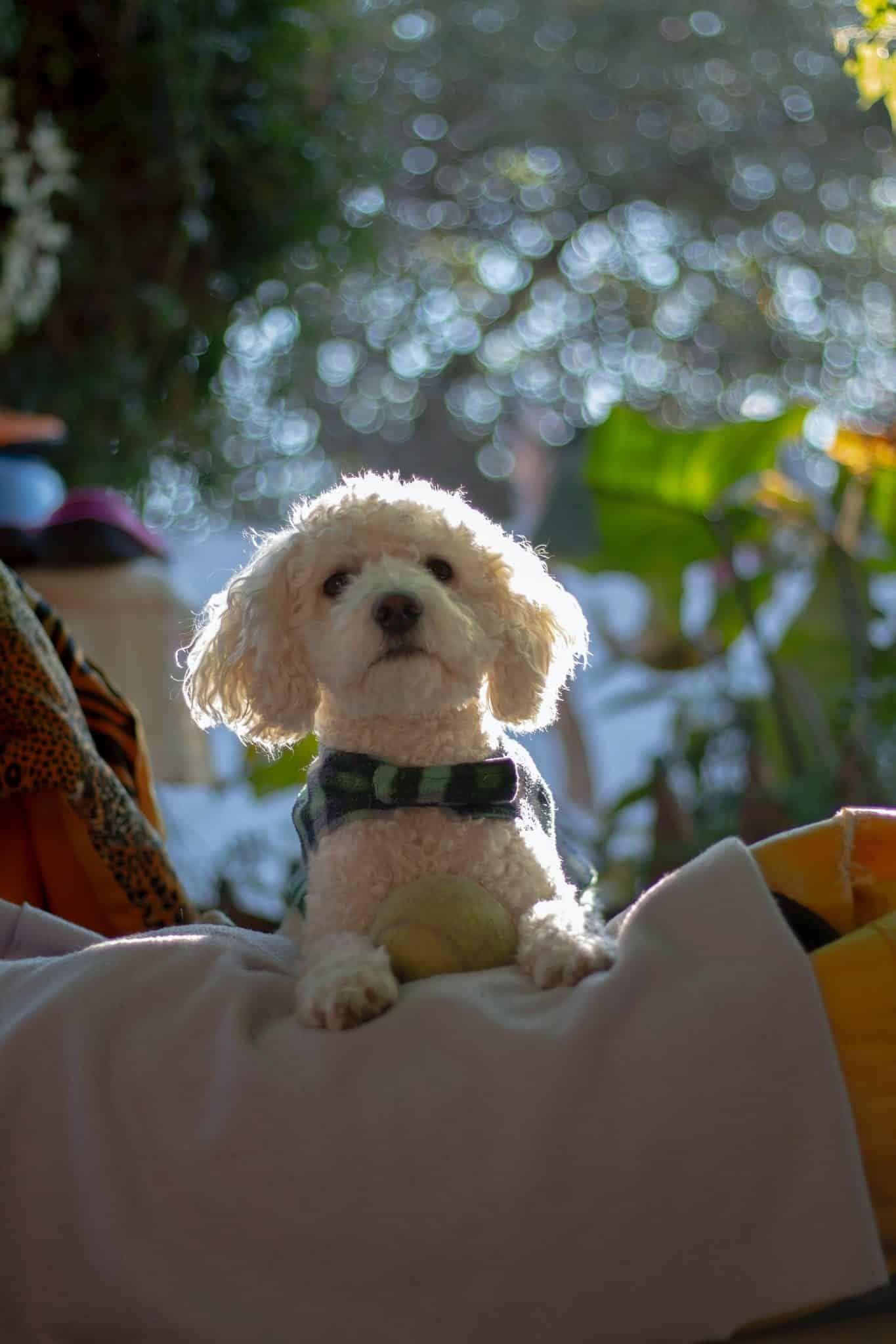 Cavachon in 2020 hondenrassen leuke honden kindje puppies