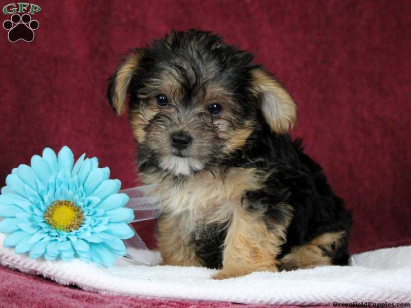 yorkie chon for sale yorkie chon puppies for sale in pa puppies puppies 6762