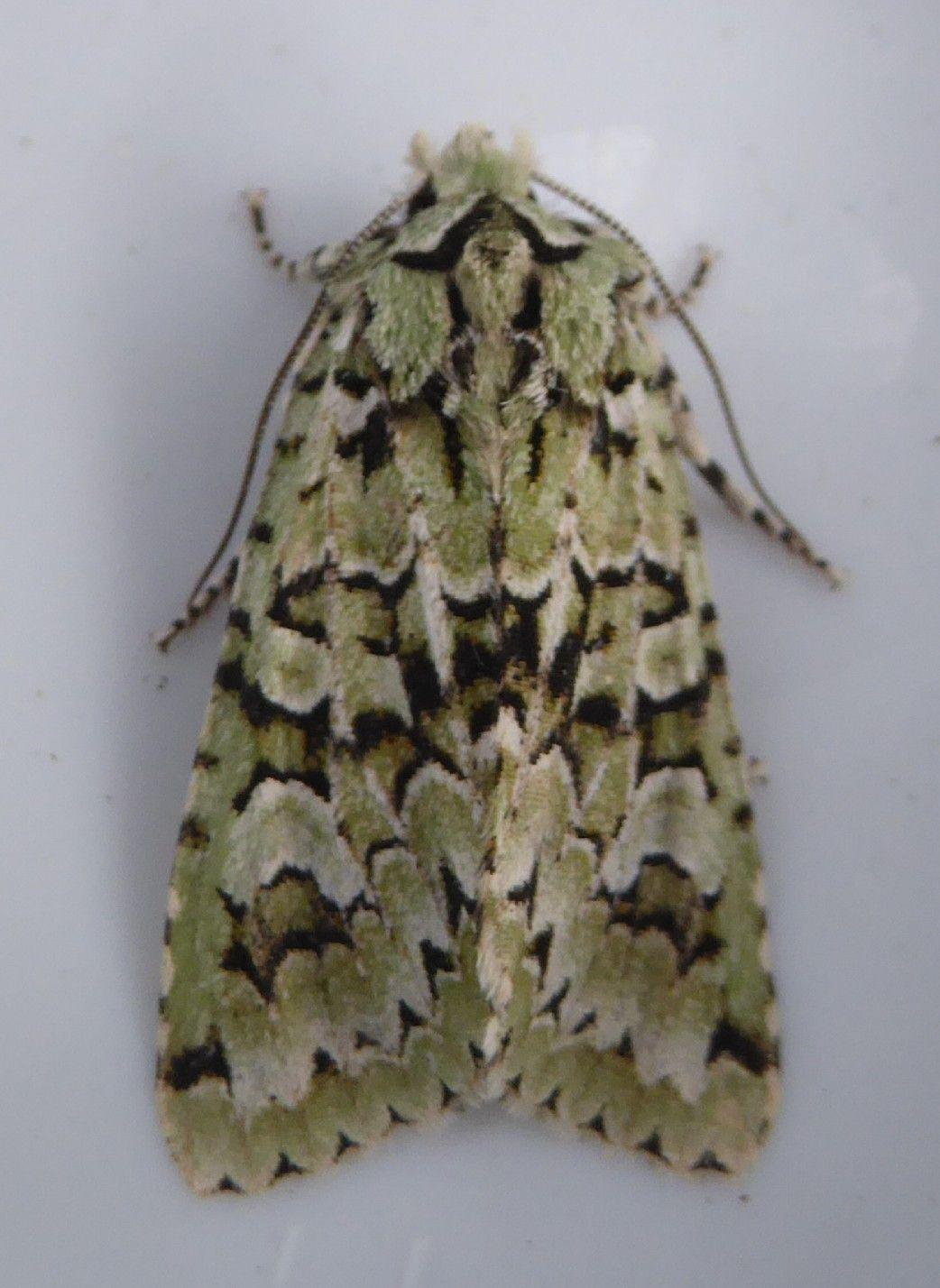 merveille du jour moths at eskrigg reserve pinterest moth and butterfly. Black Bedroom Furniture Sets. Home Design Ideas