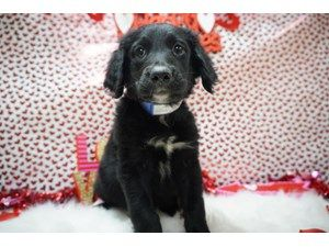 Puppies And Dogs For Sale Petland Racine Wisconsin Dogs For