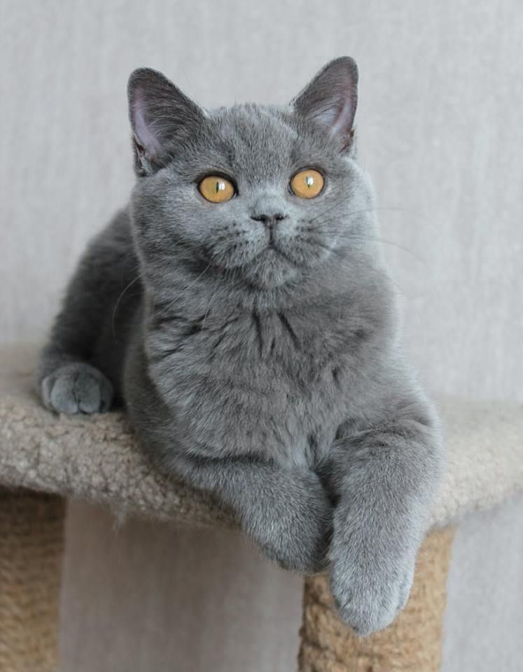 Idee Von Jupiter19 Auf Animal World Katzen Kurzhaar Katzen