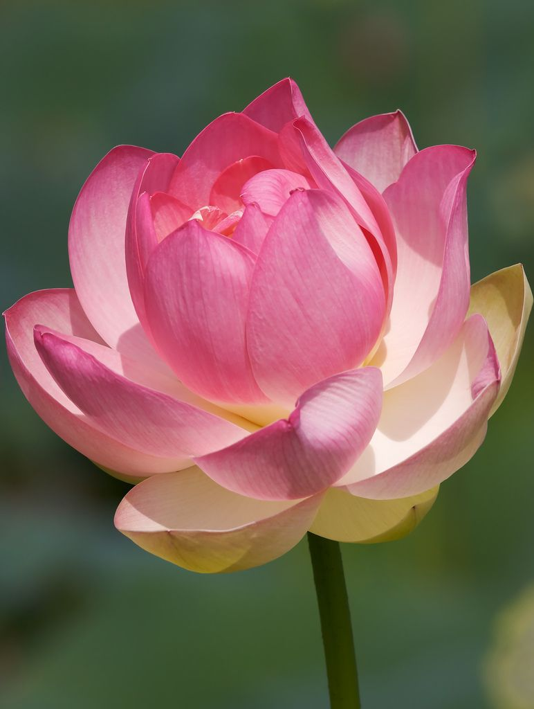 Pink Tipped Lotus Queen Hera Flowers Lotus Flower Pictures