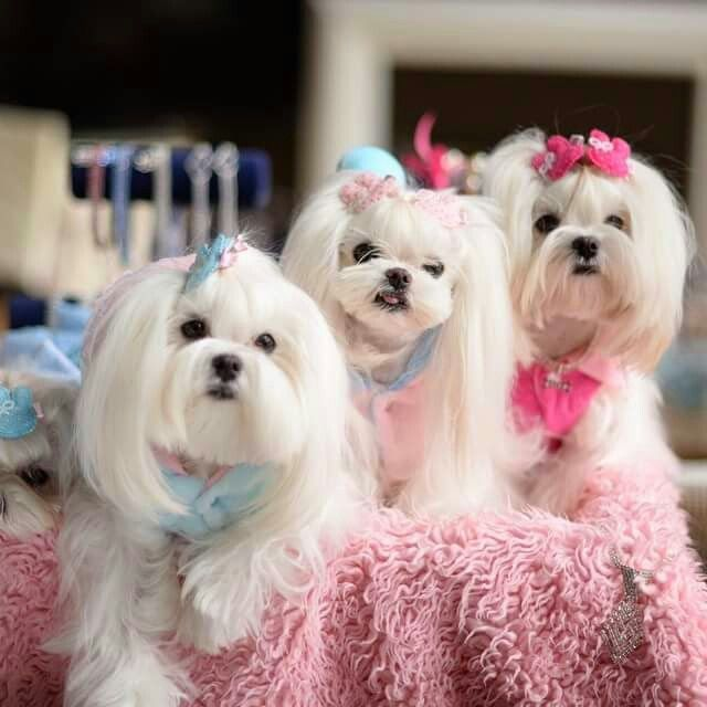 Maltese Beauties Omg Love Love Love Maltese Dogs Maltese Puppy