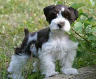 More Like Our Dogs Miniature Schnauzer Miniature Schnauzer Puppies Schnauzer Puppy